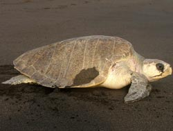 Sea Turtle in Monterrico