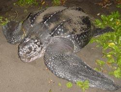 Tortuga at Hawaii