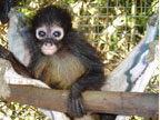 Spider Monkey Rehab Program