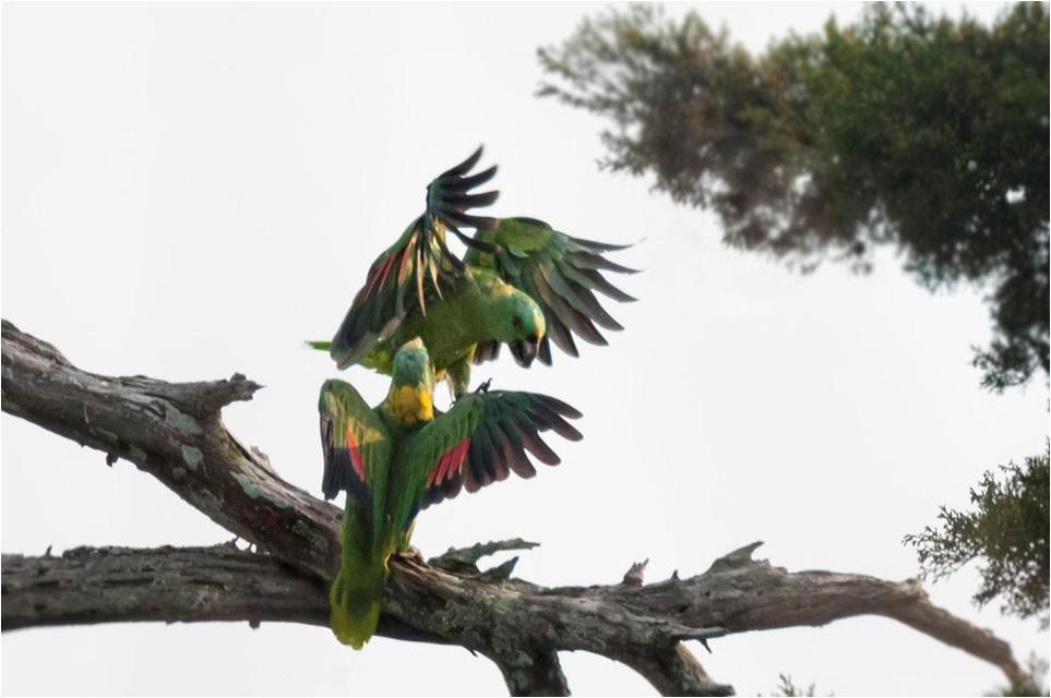 Una pareja de loros saludando.  Foto de LKJoyner, One Earth Conservation